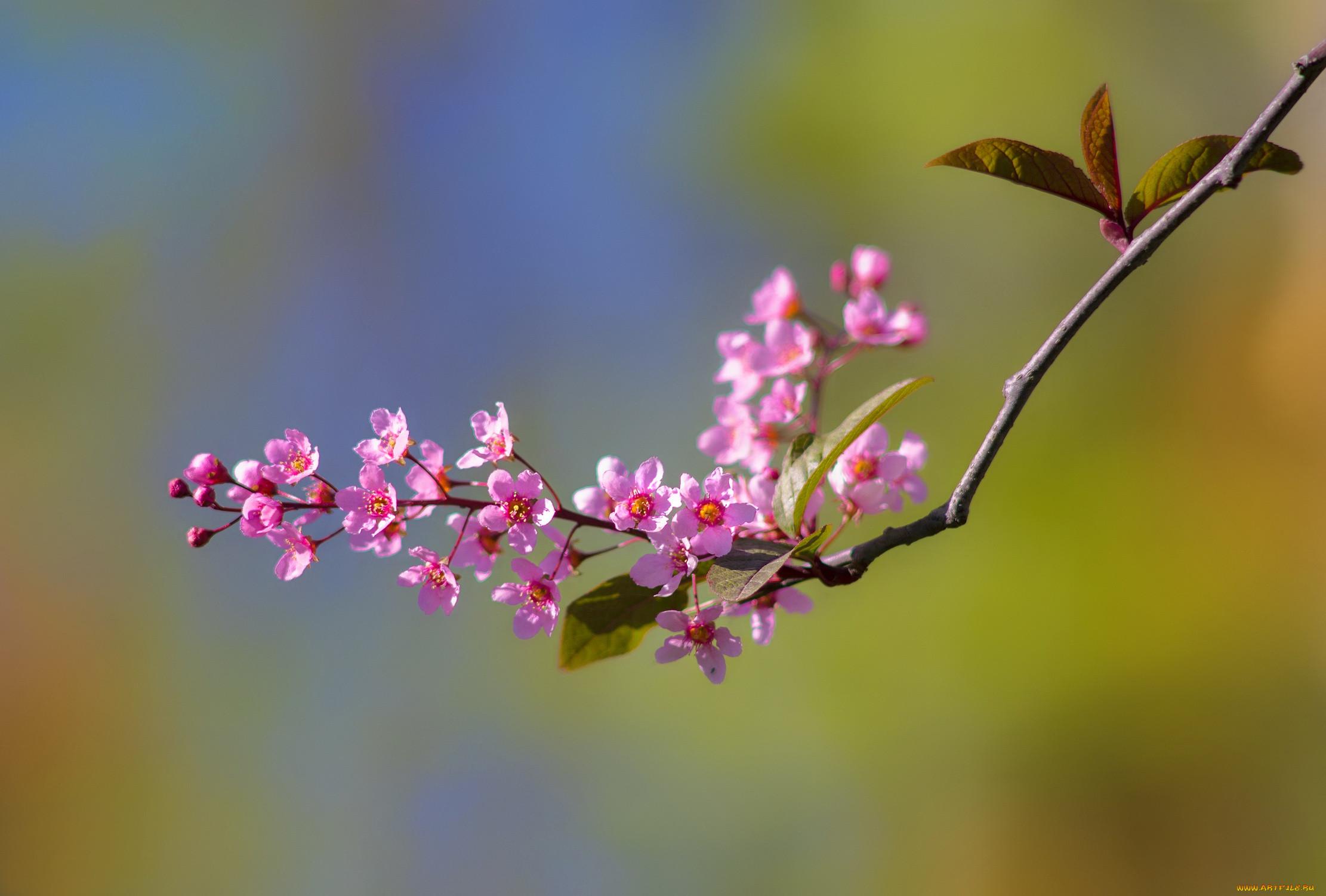 Картинки веточки цветущей